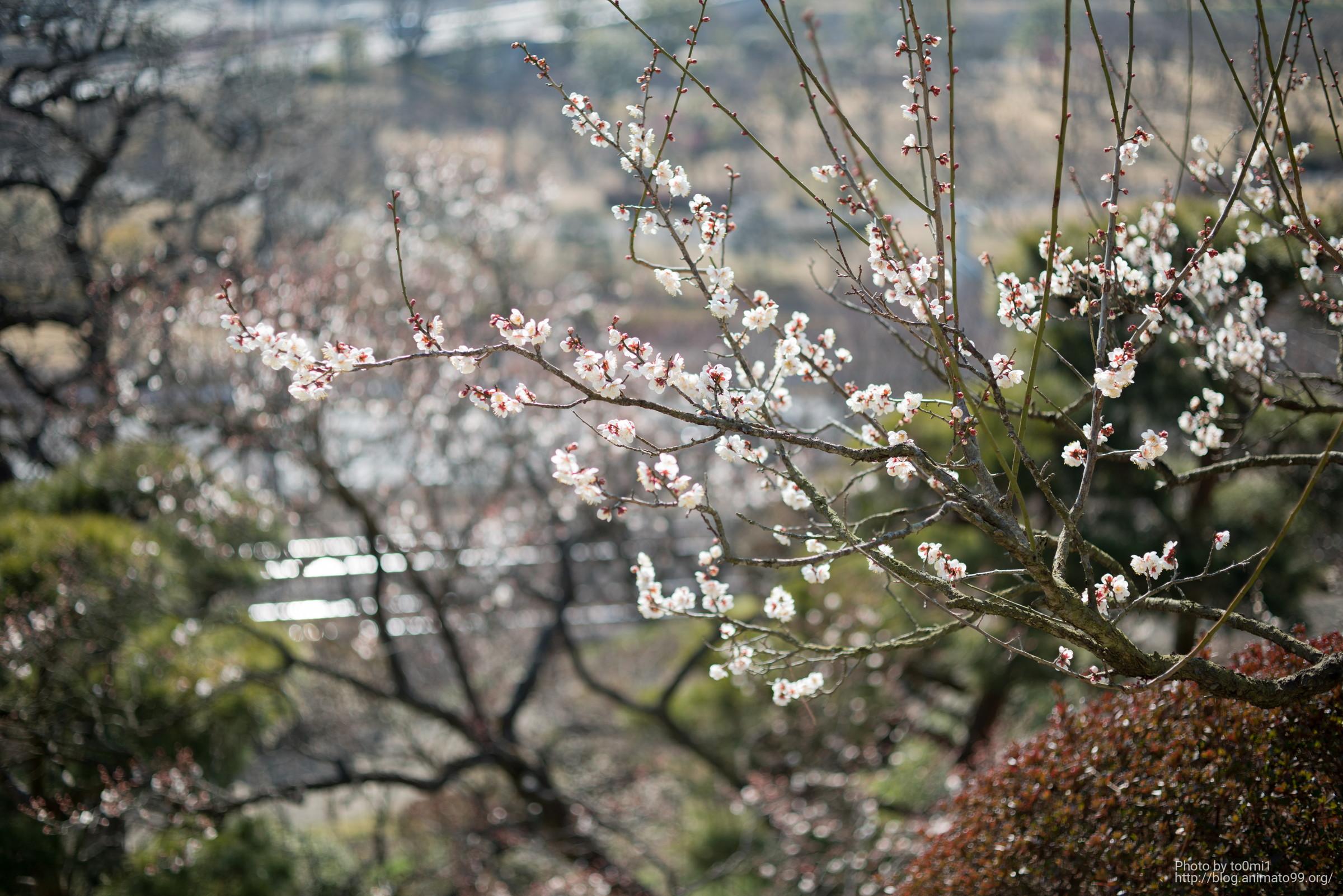 偕楽園に行って、マクロプラナーとSIGMA 60mm F/2.8 DN で梅を撮りまくってきた