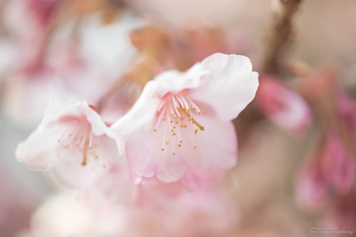 満開の寒桜