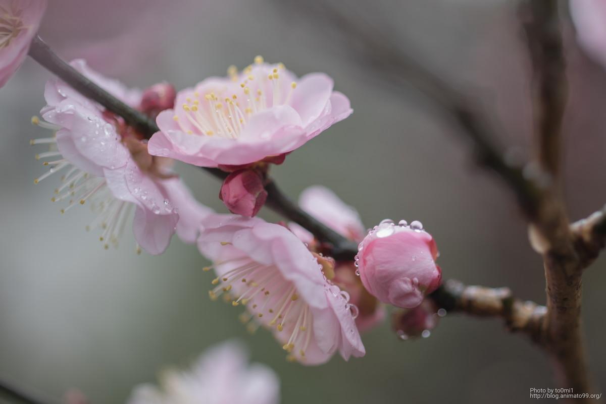 河津桜の写真を撮りたい!
