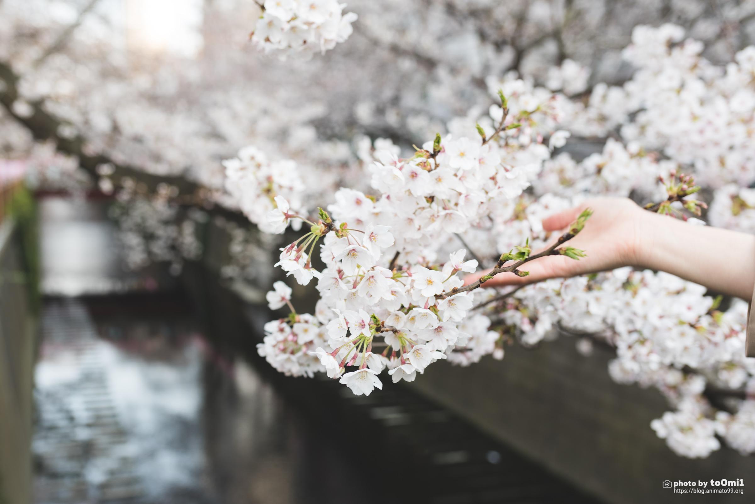 昨日の桜撮影リベンジ!