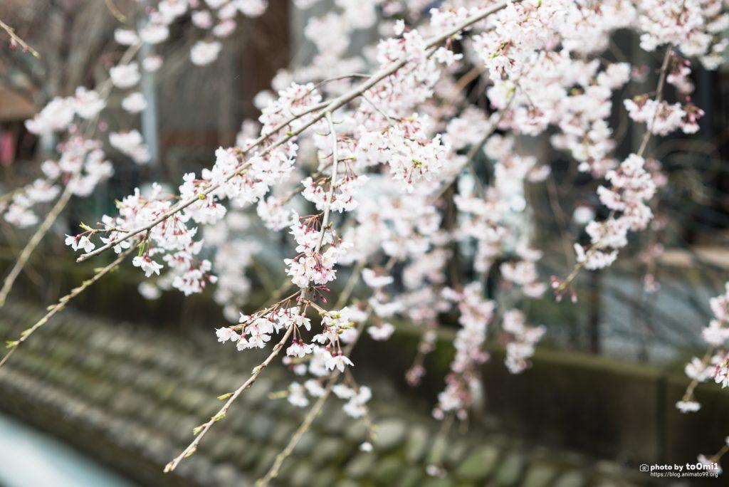 桜を撮りに靖国神社へ行ったけど……