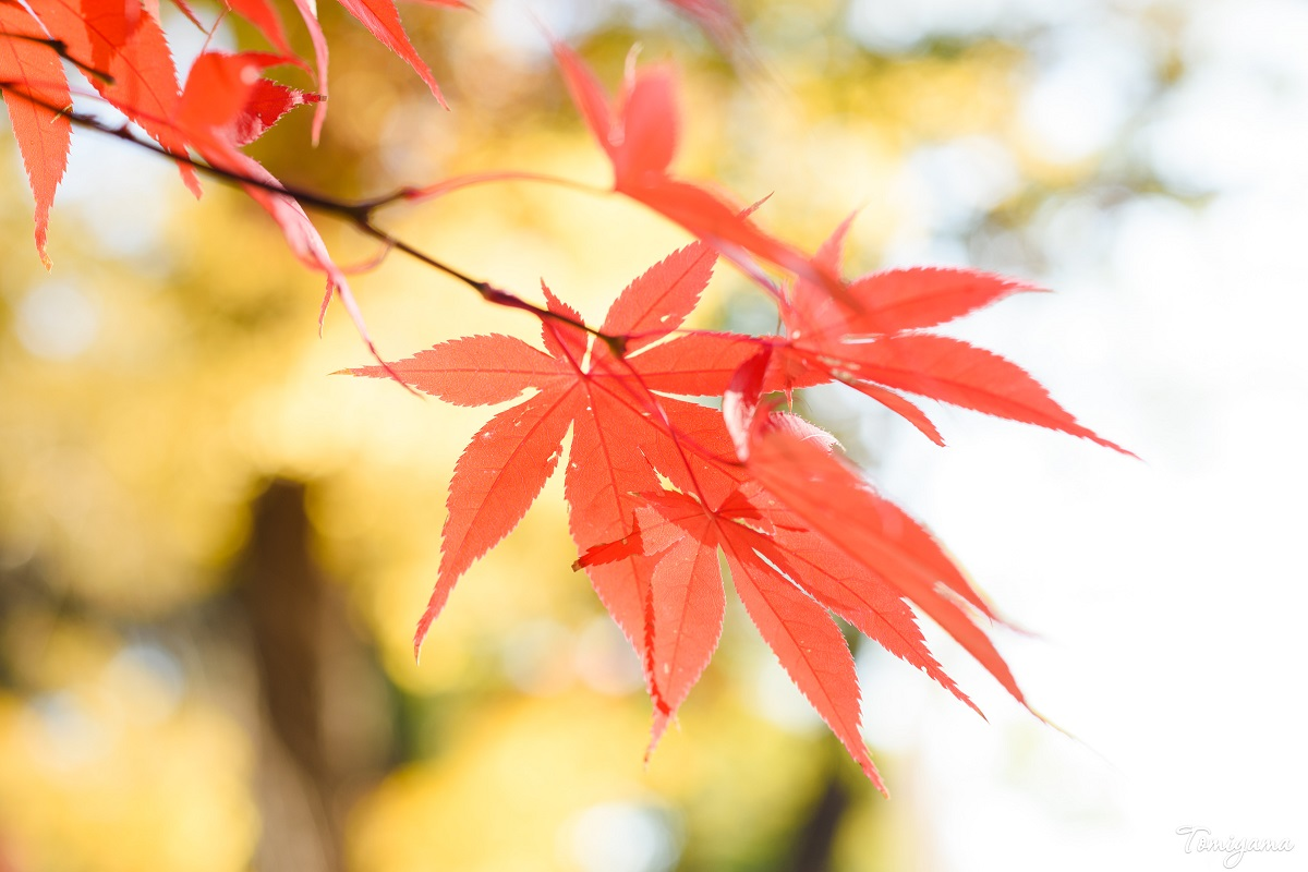 【紅葉】今年二度目の紅葉散歩に出かけてきました【等々力渓谷】